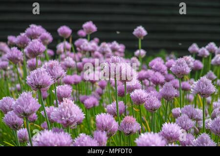 Summer blossom of chives allium plant in garden - Stock Photo