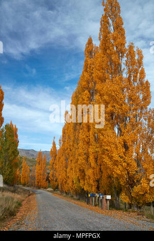 Poplar trees in autumn and letterboxes, Crown Terrace, near Arrowtown, near Queenstown, Otago, South Island, New Zealand - Stock Photo