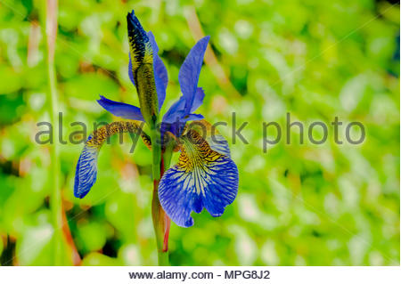 Blue Iris or Iris Sibirica out to bloom in early May, Liverpool, England, UK (macro close focus) Credit: Christopher Canty Photography/Alamy Live News - Stock Photo