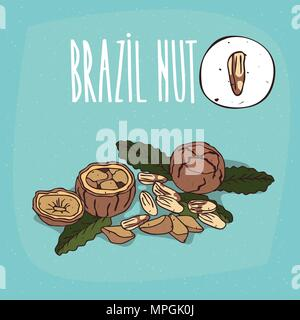 Set of isolated plant Brazil nut nuts herb with leaves, Simple round icon of Bertholletia excelsa on white background, Lettering inscription Brazil nu - Stock Photo