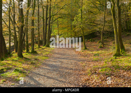 The Cumbria Way path though Torver Common Wood at autumn in the Lake District National Park, Cumbria. - Stock Photo