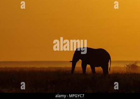 Elephant in a grassland with sunrise, etosha nationalpark, namibia, (loxodonta africana) - Stock Photo