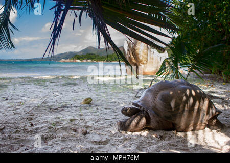 Aldabra giant tortoise (Aldabrachelys gigantea) on the beach on Curieuse, Seychelles. - Stock Photo