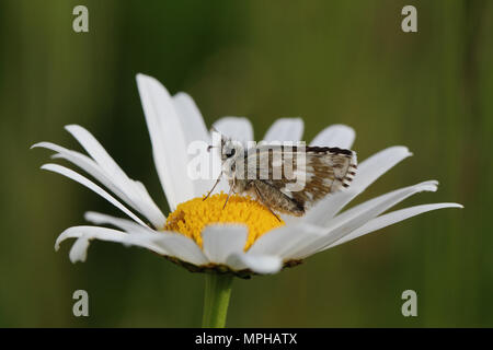 Dusky Grizzled Skipper (Pyrgus cacaliae) resting in an Oxeye Daisy - Stock Photo