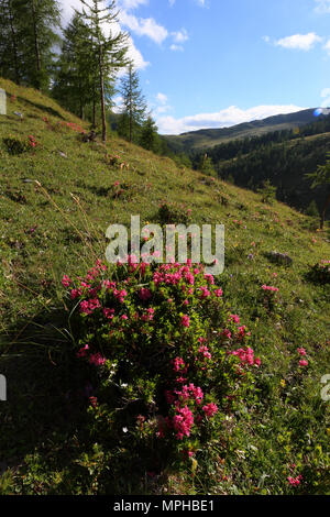 Flowing Rusty-leaved alpenrose (Rhododendron Ferrugineum) in the mountains by Nockalmstrasse - Stock Photo