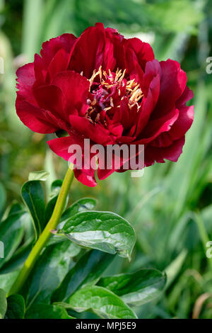 Close-up of a deep-red Peony (paeonia) 'Buckeye Belle' flower. - Stock Photo