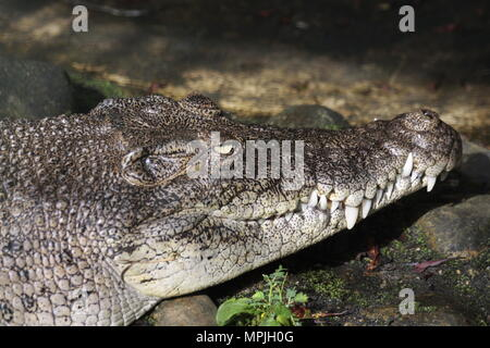 saltwater crocodile in borneo - Stock Photo