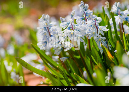 Striped Squill (Puschkinia scilloides) flowering profusly in the spring garden. - Stock Photo