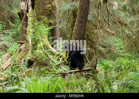 Bear in the The Hoh Rainforest in Olympic National Park, Washington. - Stock Photo