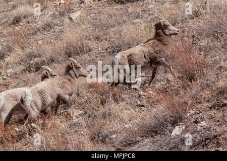 Desert bighorn sheep (Ovis canadensis ssp. nelsoni) move up a dry, barren hillside in habitat for which they are uniquely adapted - Stock Photo