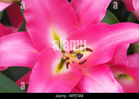 Lilium praiano lily with pink flower petals - Stock Photo