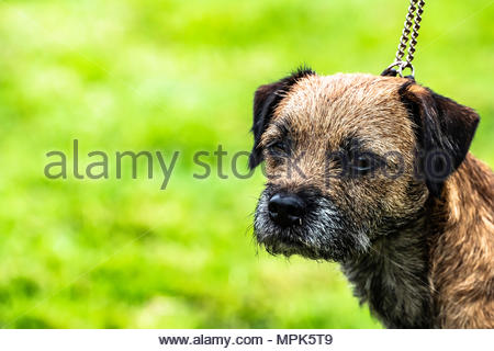 Selkirk, Scottish Borders, UK. 20th May 2018. The Duke of Buccleuch Hunt Terrier and Lurcher Show. The event is a celebration of the working breeds he - Stock Photo