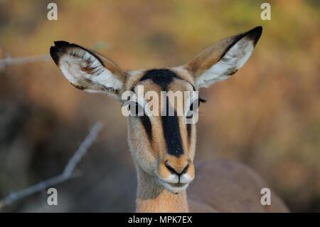 Black faced impala head portrait, (aepyceros melampus petersi), etosha nationalpark, namibia - Stock Photo