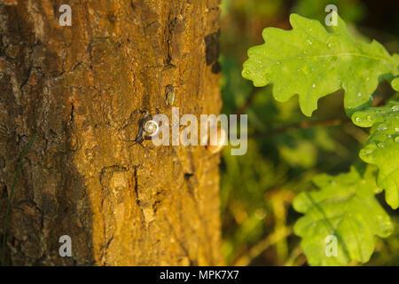 snaills on a bark of oak tree after a rain - Stock Photo