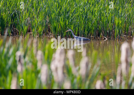 Grey heron (Ardea cinerea), fishing in a lake, viewed through reeds and rushes - Stock Photo