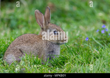 Wild Rabbits in the English countrside. - Stock Photo