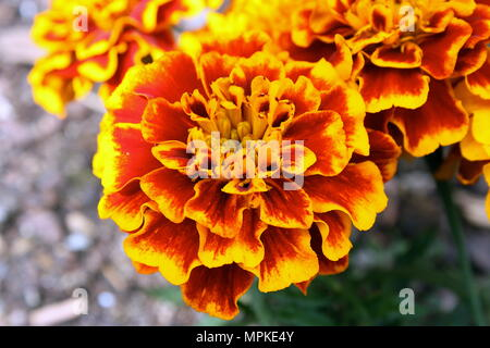 Bright Orange Flowers in full Bloom - Stock Photo