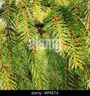 Green prickly branches of a fur-tree or pine-tree. Aged photo. Close up. Fir tree in the woods. Christmas background or backdrop. - Stock Photo