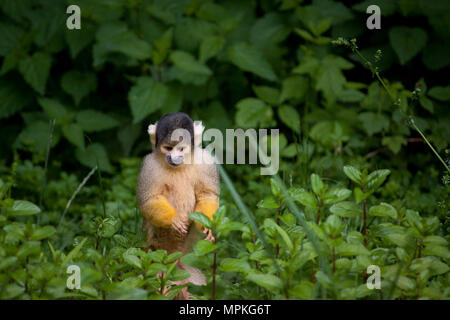Squirrel Monkey standing in greenery - Stock Photo