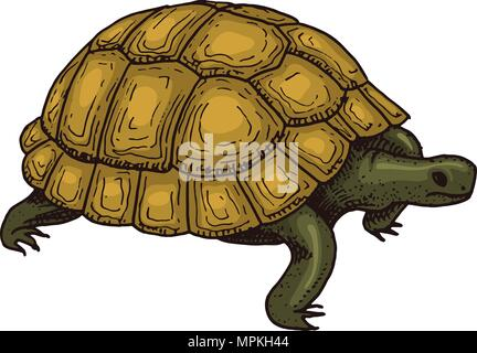 Common Greek tortoise. Cute Turtle. Animals Reptiles. Pet and Wildlife. Engraved hand drawn in old vintage sketch. Vector illustration. Exotic Zoology. - Stock Photo