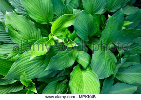 Hosta — AKA plantain lily, giboshi or Funkien — as the first flower buds form in spring - Stock Photo