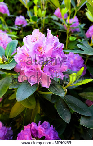New spring growth on Rhododendron Catawbiense grandiflorum - Stock Photo