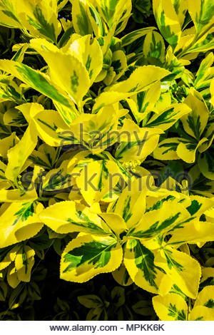 Euonymus fortunei  (Fortune's spindle, winter creeper) climbs on a pergola in morning sun in spring. - Stock Photo