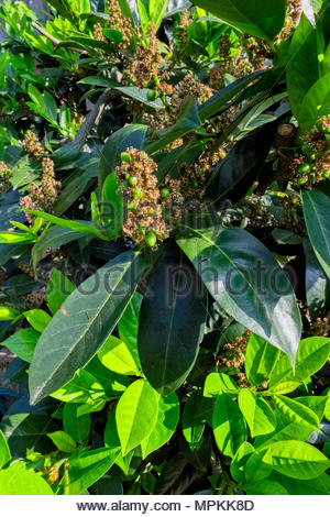 New growth in springtime on Kirschlorbeer, or cherry laurel, Prunus laurocerasus, with berries forming - Stock Photo