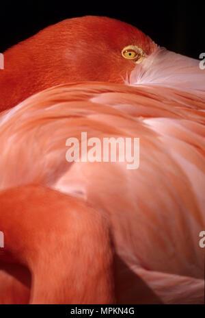 Flamingo, San Diego Zoo, Balboa Park, San Diego, California - Stock Photo