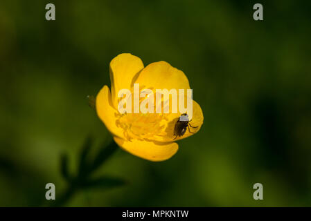 A insect on a the flower of a meadow buttercup (Ranunculus acris) - Stock Photo