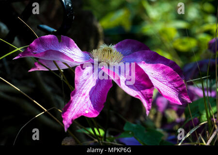 Beautiful flower poster: Close-up of large pink clematis in a garden in bright spring sunshine