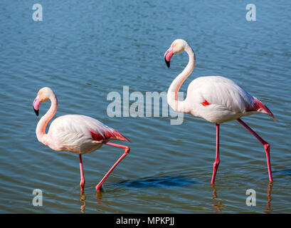 Greater Flamingo (Phoenicopterus roseus). Pair of Greater Flamingos in the Parc ornithologique du Pont de Gau, Camargue, Provence, France. - Stock Photo