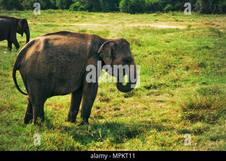 Small asian elephant standing and looking on camera in national park - Stock Photo