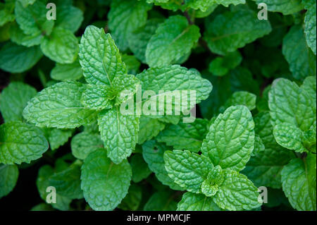 peppermint herb or vegetables for cook , The plant is useful in cooking as a herb to extract fresh scent. - Stock Photo