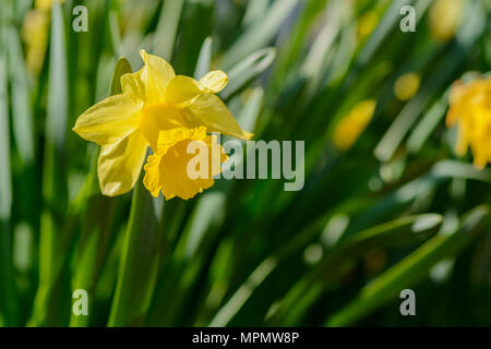 Close up of a Narcissus flower, blurry background - Stock Photo