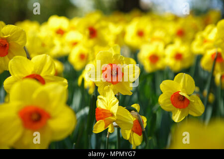 Beautiful colorufl yellow jonquils flowers bloom in spring garden.Decorative wallpaper with narcissus jonquilla flower blossom in springtime.Beauty of - Stock Photo