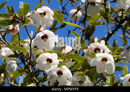Drooping Cup Flowers Of The Early Summer Flowering Hardy Tree
