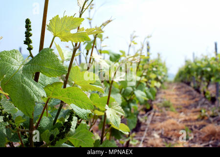 Champagne vineyard close up in France on spring. Grapes are just start growing. - Stock Photo