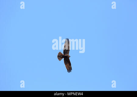 female hen harrier bird flying in spring in Italy in spring Latin name circus cyaneus could be confused with a montagu's harrier ci - Stock Photo