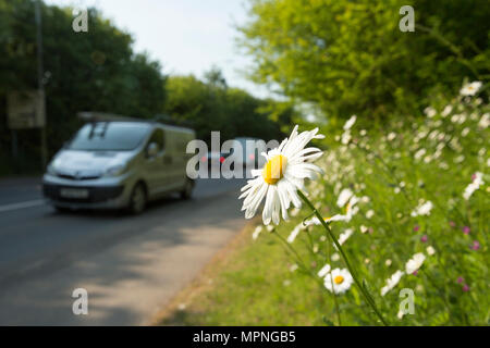 Oxeye daisies, Leuchanthemum vulgare, growing next to the pavement on a grassy bank by a busy road in a rural town. North Dorset England UK - Stock Photo
