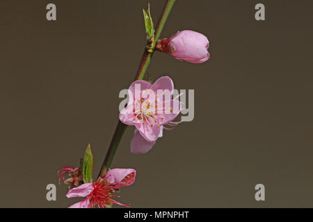 Pink Peach Blossom Latin Name Prunus Persica Family Rosaceae With