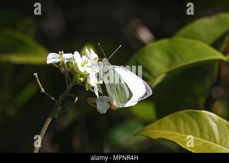small white or cabbage white butterfly Latin pieris rapae possibly pieris mannii feeding on a white flower in a meadow in spring in Italy - Stock Photo