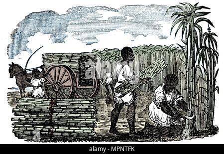 Slaves harvesting sugar cane in Louisiana, 1833. Artist: Unknown. - Stock Photo