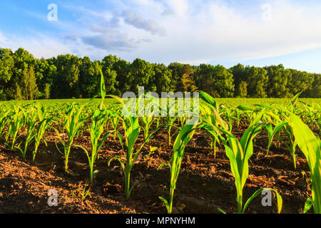 cornfield on the edge of the forest - Stock Photo