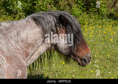 Side-on head shot of mature pony on Bourne valley nature reserve. - Stock Photo