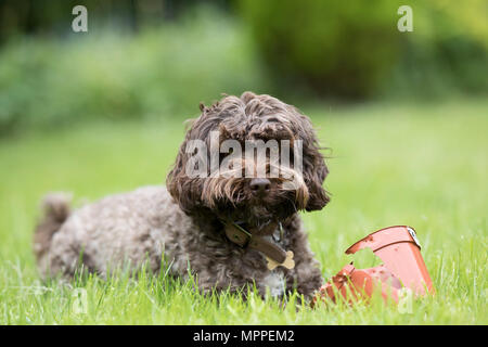 Cockerpoo dog in a garden in Surrey,UK - Stock Photo