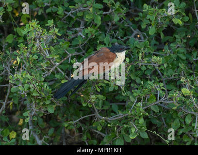 Burchell's Coucal at Pafuri in Northern Kruger - Stock Photo