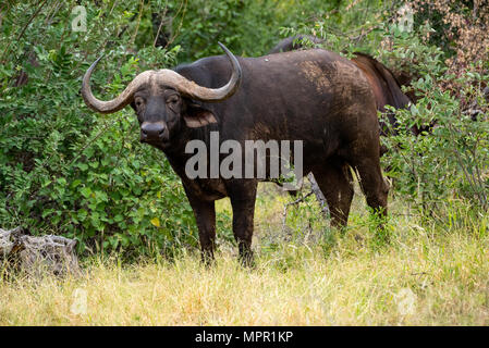 Cape Buffalo in the Makuleke Contract Park Northern Kruger, South Africa - Stock Photo