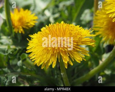 Dandelion - Taraxacum officinale. Photo taken in Lodz, Poland - Stock Photo