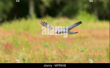 Male common cuckoo (Cuculus canorus) in flight - Stock Photo